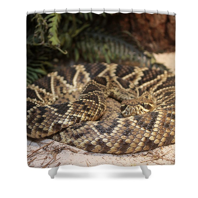 Easter Diamond Back Rattlesnake Shower Curtain featuring the photograph Easter Diamond Back Rattlesnake by Dwight Cook