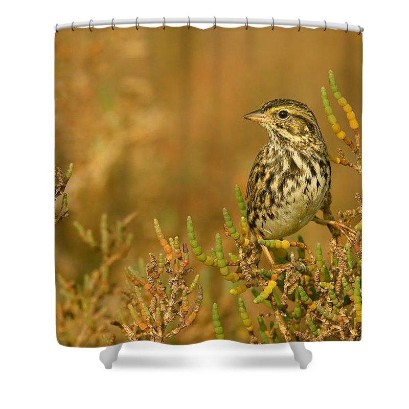 Belding's Shower Curtain featuring the photograph Endangered Beldings Savannah Sparrow - Huntington Beach California by Ram Vasudev