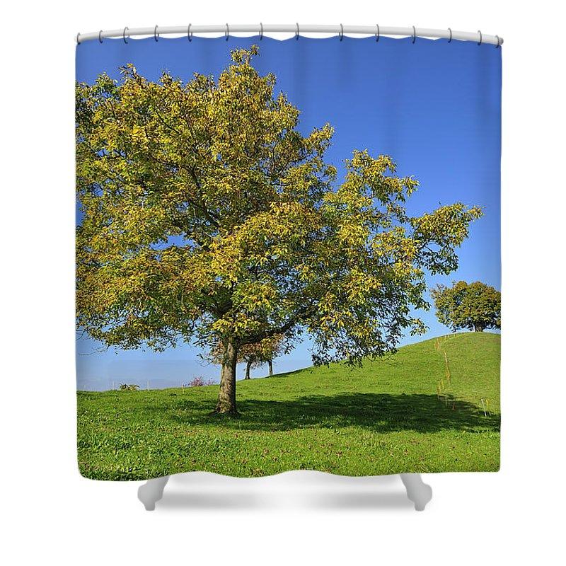 English Black Walnut Tree Switzerland Shower Curtain