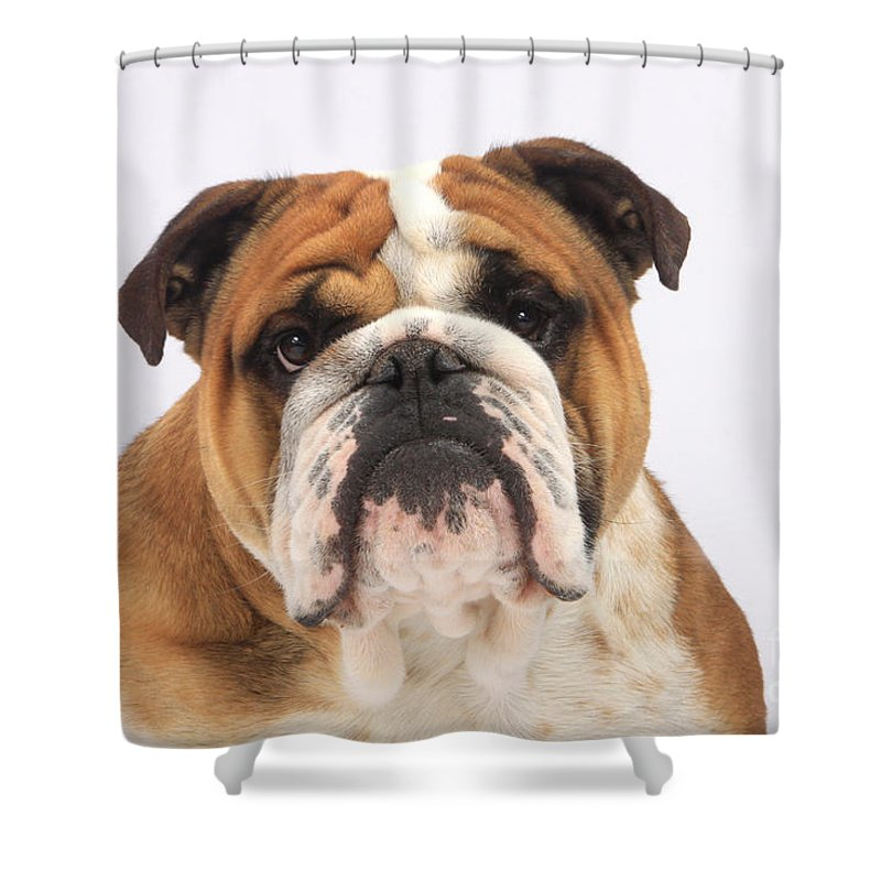 English Bulldog Shower Curtain Featuring The Photograph By Christine Steimer