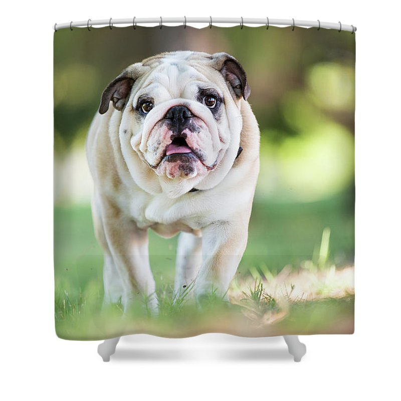 Pets Shower Curtain featuring the photograph English Bulldog Puppy Walking Outdoors by Purple Collar Pet Photography