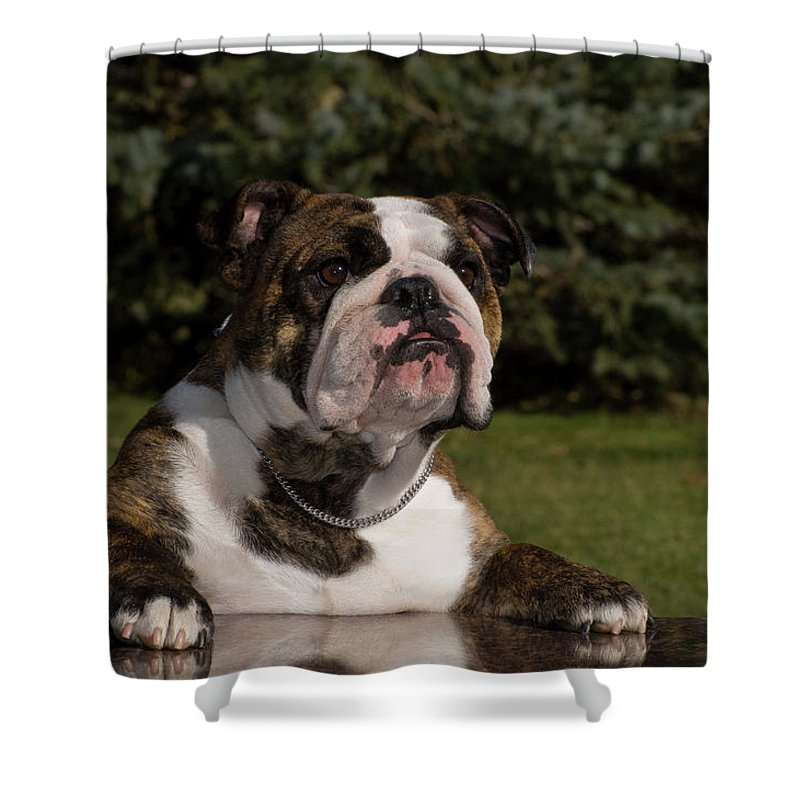 Photography Shower Curtain Featuring The Photograph English Bulldog By Vintage Images