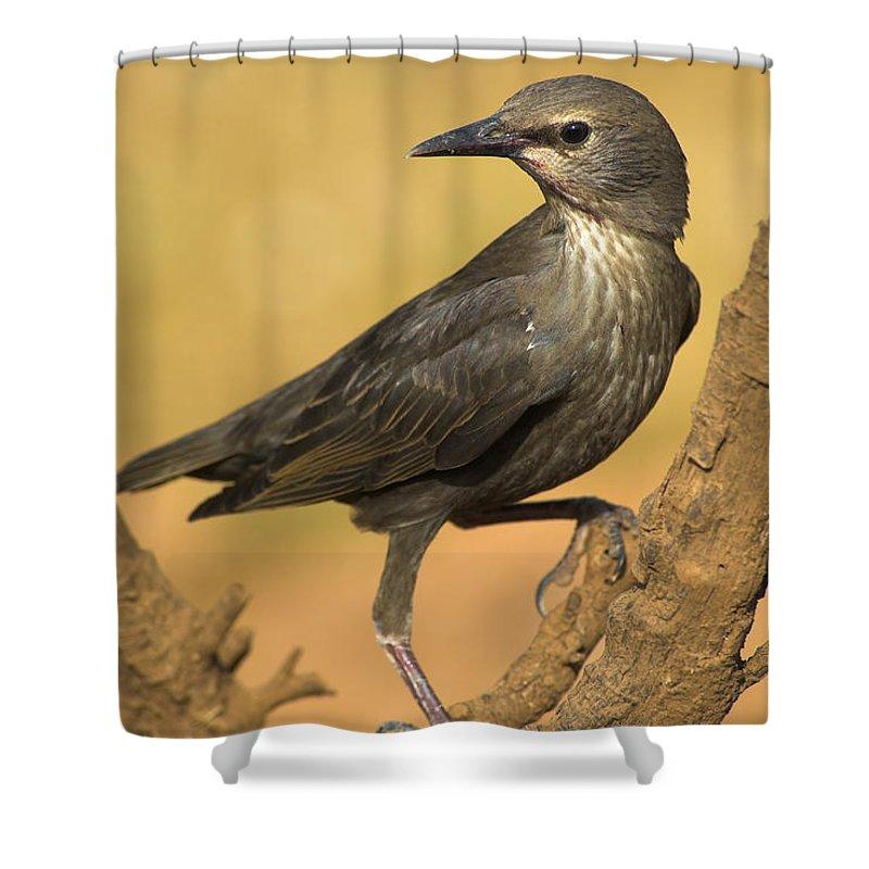 Birds Shower Curtain featuring the photograph Estornino by Guido Montanes Castillo
