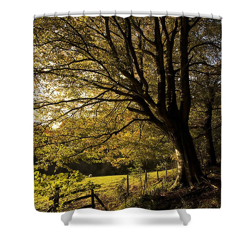 Autumn Shower Curtain featuring the photograph Evening Beech by Anne Gilbert