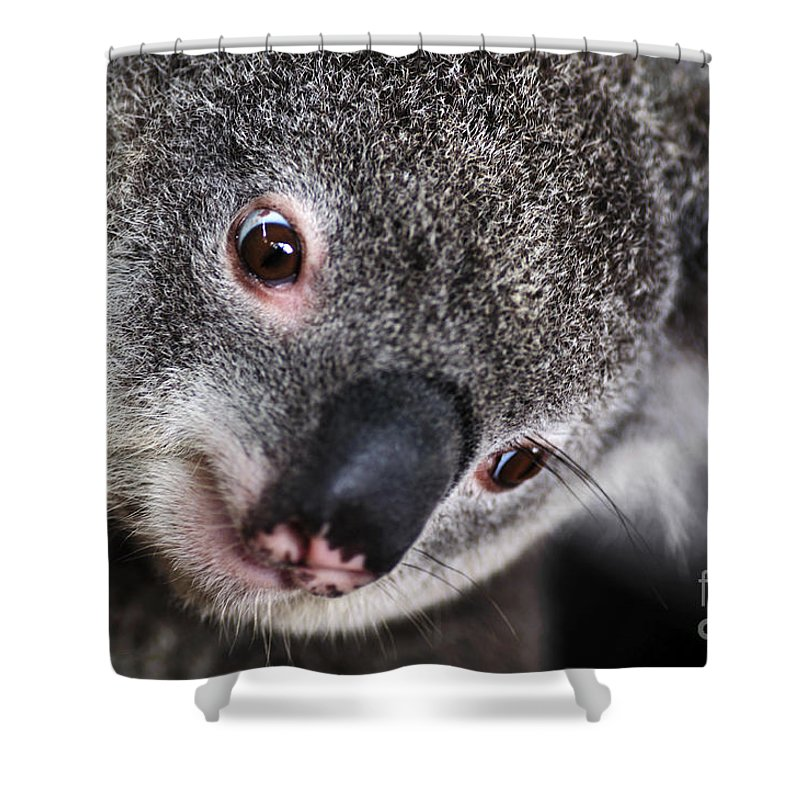 Photography Shower Curtain featuring the photograph Eye Am Watching You - Koala by Kaye Menner
