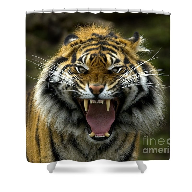 Tiger Shower Curtain featuring the photograph Eyes Of The Tiger by Mike Dawson