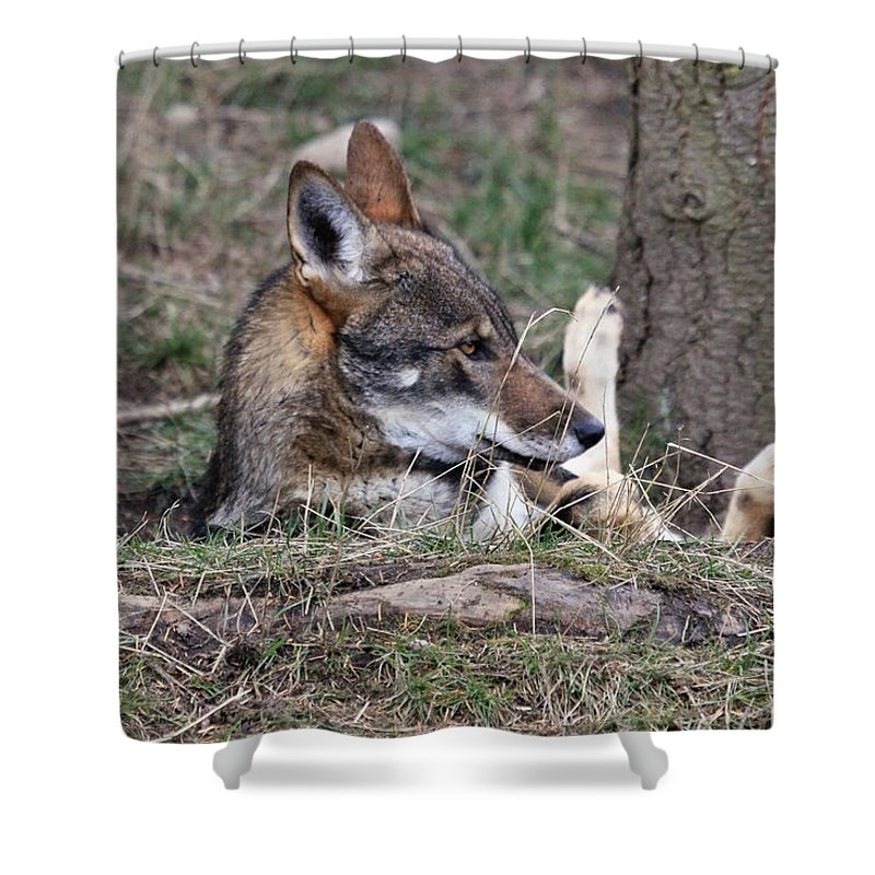 Wolves Shower Curtain featuring the photograph Fallen And I Can't Get Up by Athena Mckinzie