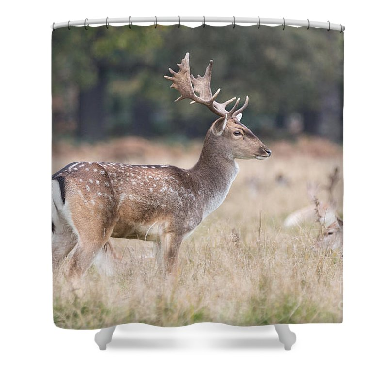 Cervidae Shower Curtain featuring the photograph Fallow Deer Buck On Guard by Jivko Nakev