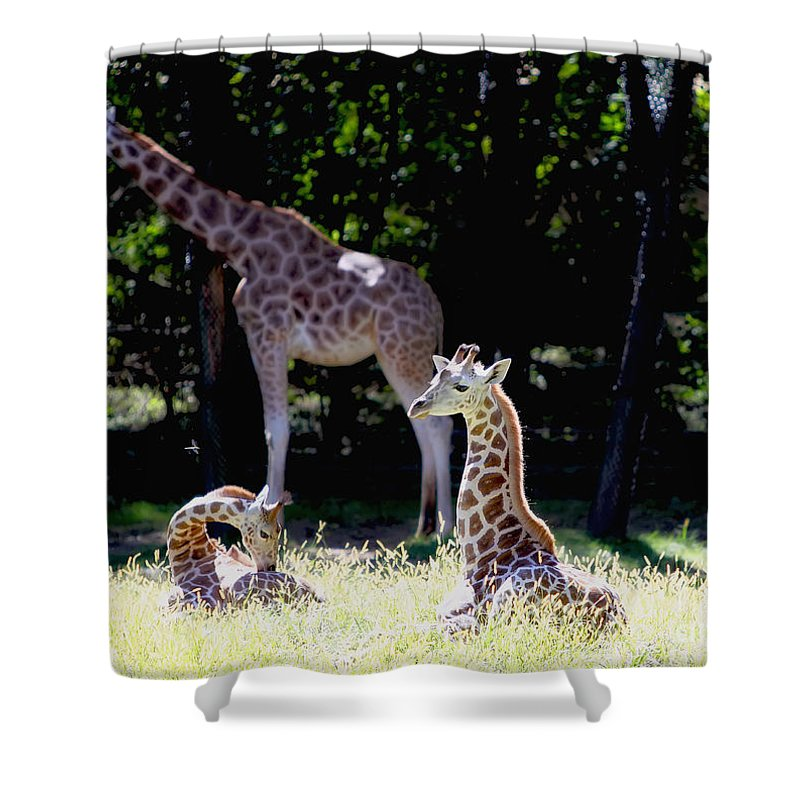 Giraffe Shower Curtain featuring the photograph Family by Rick Kuperberg Sr