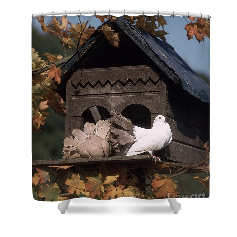 Birdhouse Shower Curtain Featuring The Photograph Fantail Pigeons At By Hans Reinhard