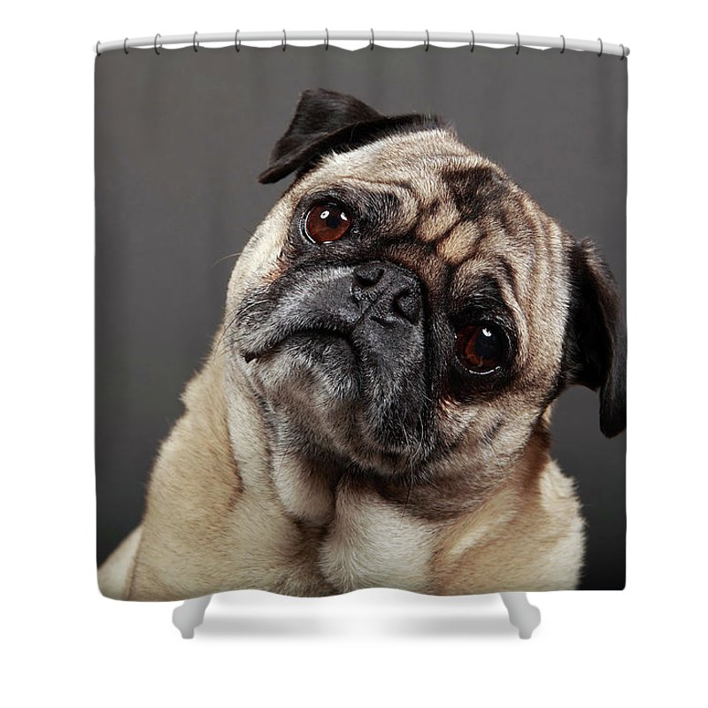 Pets Shower Curtain featuring the photograph Fawn Pug by Mlorenzphotography