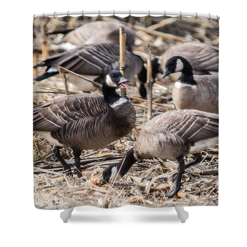 Aleutian Geese Feeding Shower Curtain featuring the photograph Feeding Time by Brian Williamson