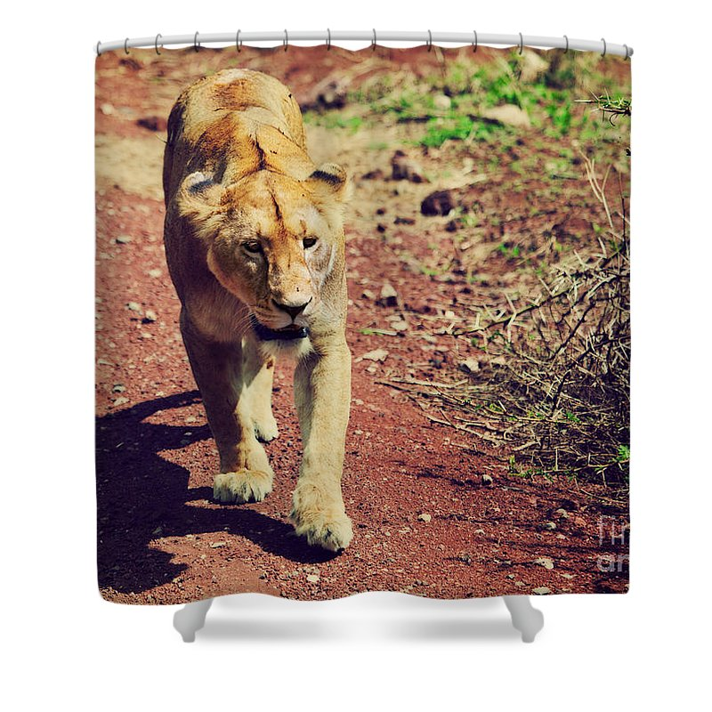 Lion Shower Curtain featuring the photograph Female Lion Walking. Ngorongoro In Tanzania by Michal Bednarek