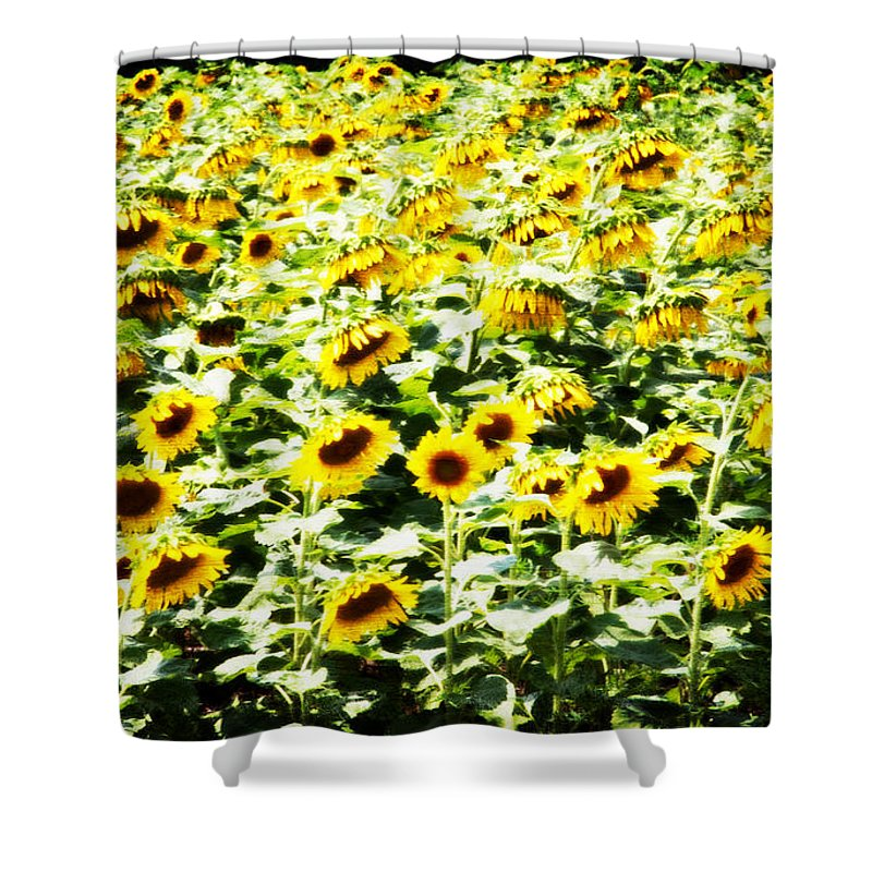 Sunflowers Shower Curtain featuring the photograph Field Of Sunflowers by Alice Gipson