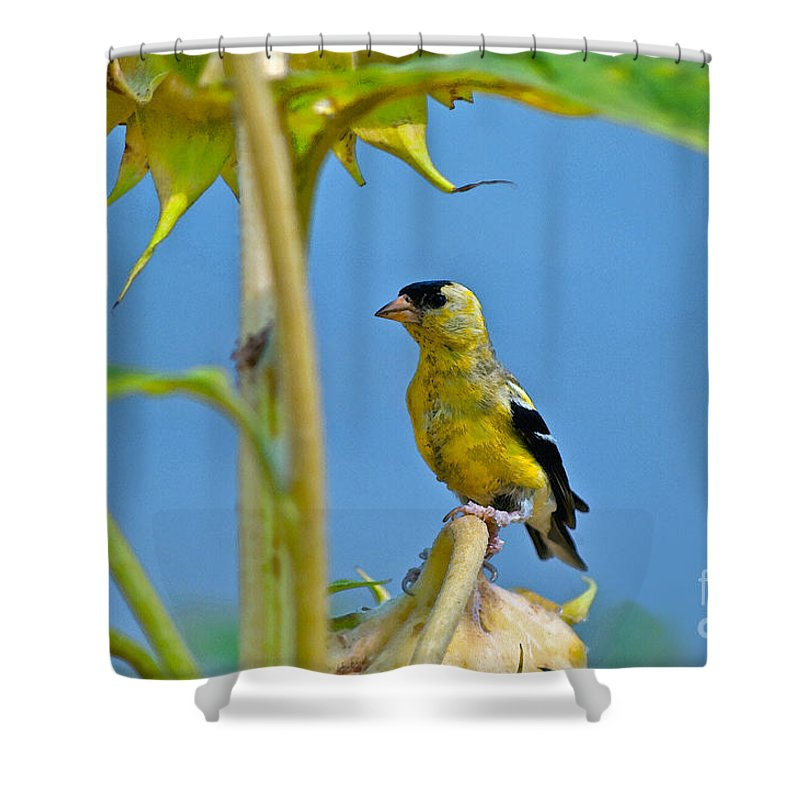 Sunflower Shower Curtain featuring the photograph Finch Finale by Gwyn Newcombe
