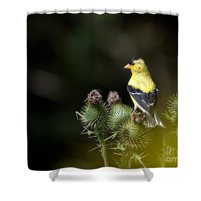 Finch Shower Curtain featuring the photograph Finch In The Thistles by Cheryl Baxter