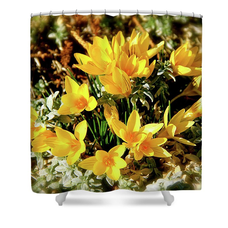 Crocus Shower Curtain featuring the photograph First Crocus Serenade by Ed Riche