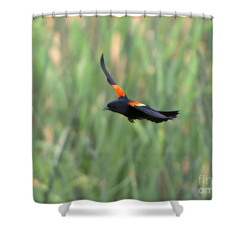 Red Winged Blackbird Shower Curtains