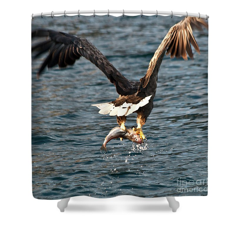White_tailed Eagle Shower Curtain featuring the photograph Flying European Sea Eagle 3 by Heiko Koehrer-Wagner