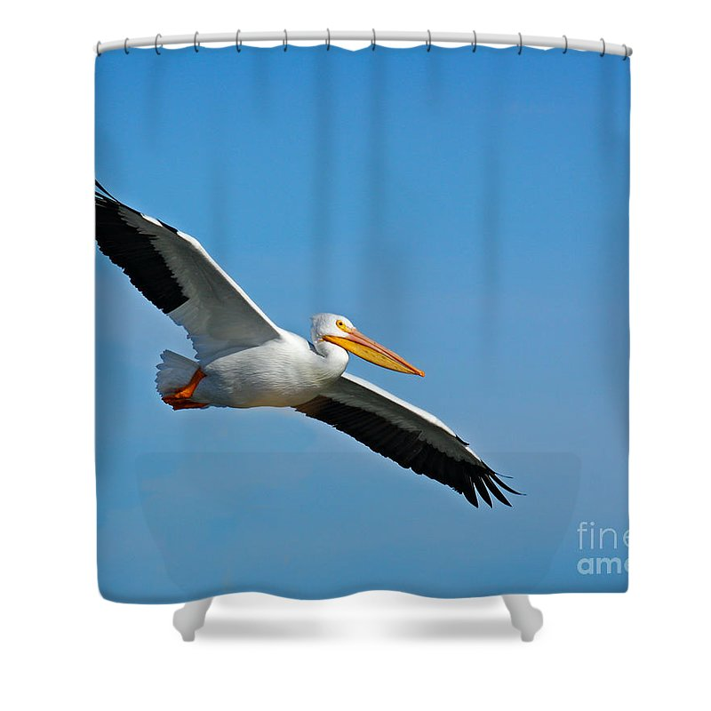 Pelican Shower Curtain featuring the photograph Flying High by David Cutts