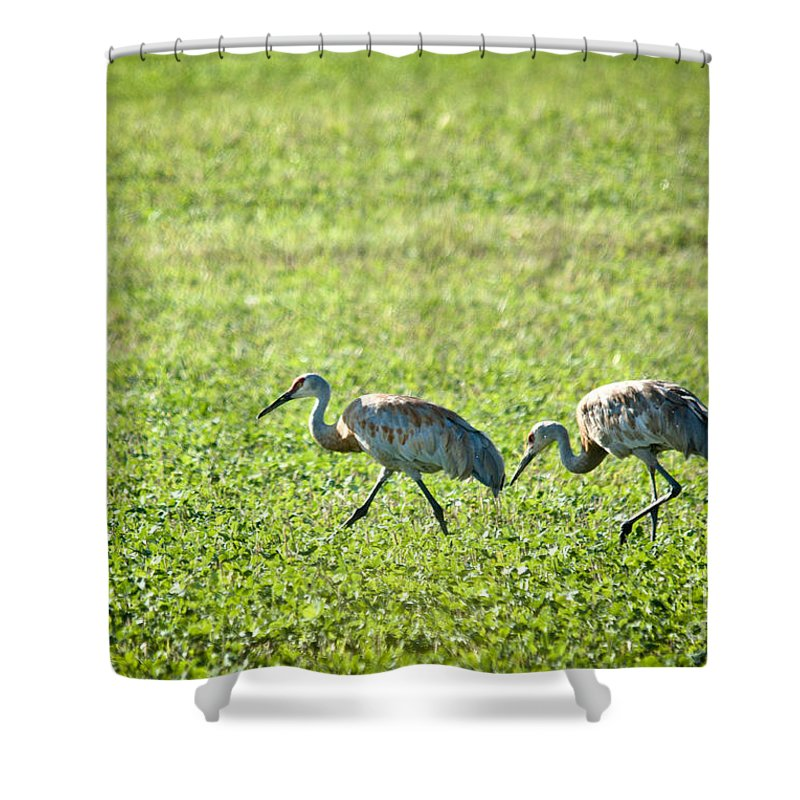 Sandhill Cranes Shower Curtain featuring the photograph Foraging by Cheryl Baxter