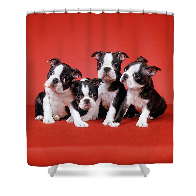 Four Boston Terrier Puppies On Red Shower Curtain For Sale By