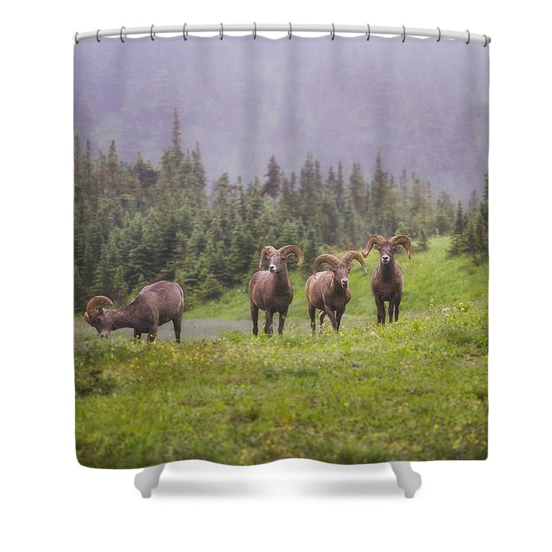 Bighorn Sheep Shower Curtain featuring the photograph Four Brothers by Peter Coskun
