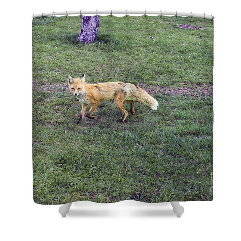 Fox Shower Curtain featuring the photograph Fox by David Arment