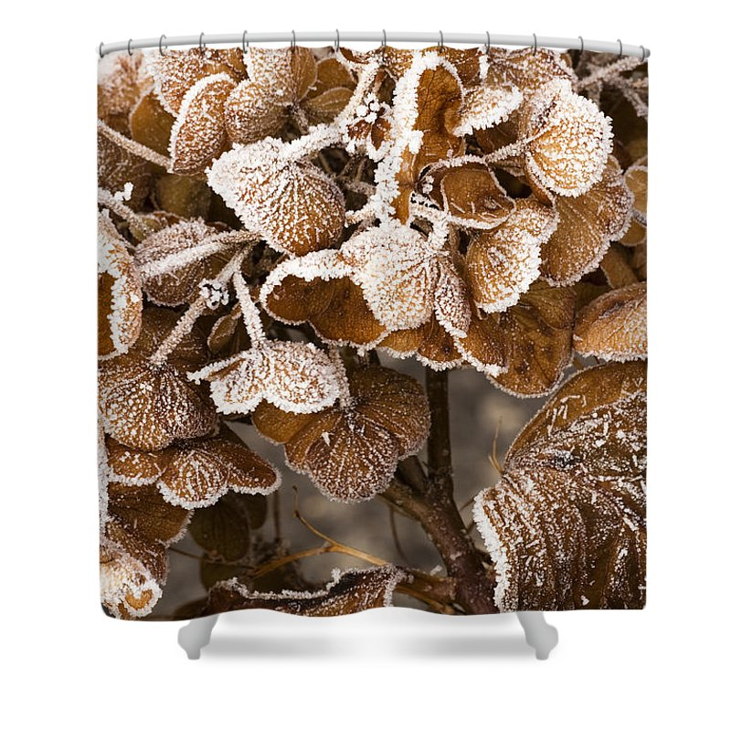 Frosted Shower Curtain featuring the photograph Frosted Hydrangea by Anne Gilbert
