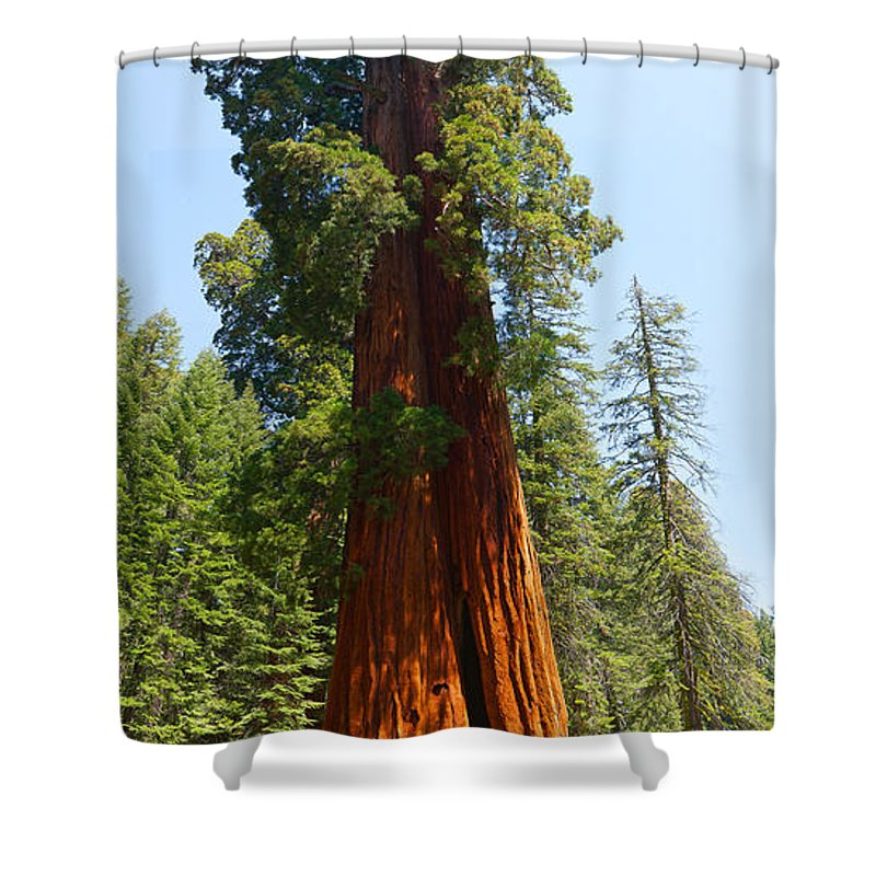 Giant Redwood Tree Shower Curtain Featuring The Photograph Standing Tall