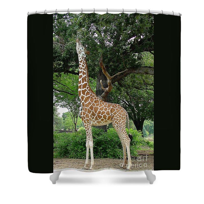 Giraffe Shower Curtain featuring the photograph Giraffe Eats-09053 by Gary Gingrich Galleries