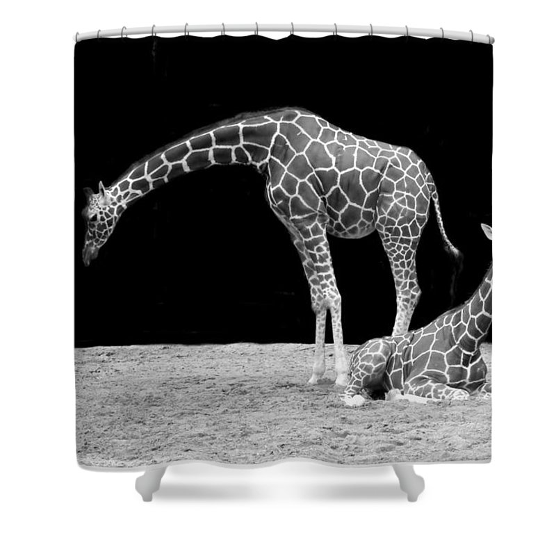 Mammal Shower Curtain featuring the photograph Giraffe's by FL collection
