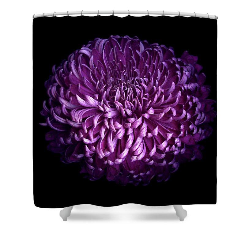 Chrysanthemum Shower Curtain featuring the photograph Glorious Autumn Purple Chrysanthemum by Photograph By Magda Indigo