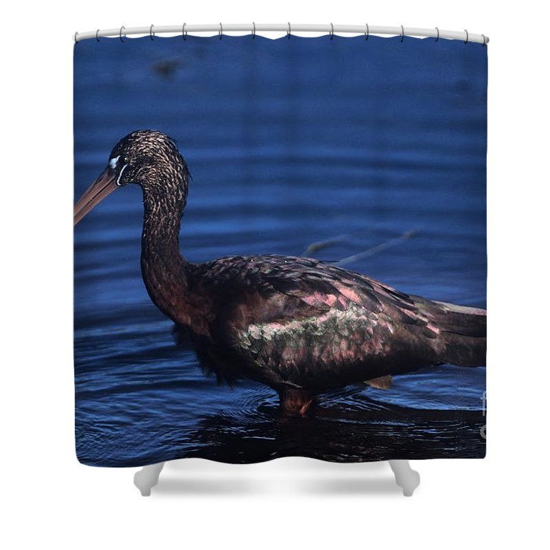 Bird Shower Curtain featuring the photograph Glossy Ibis by John Harmon