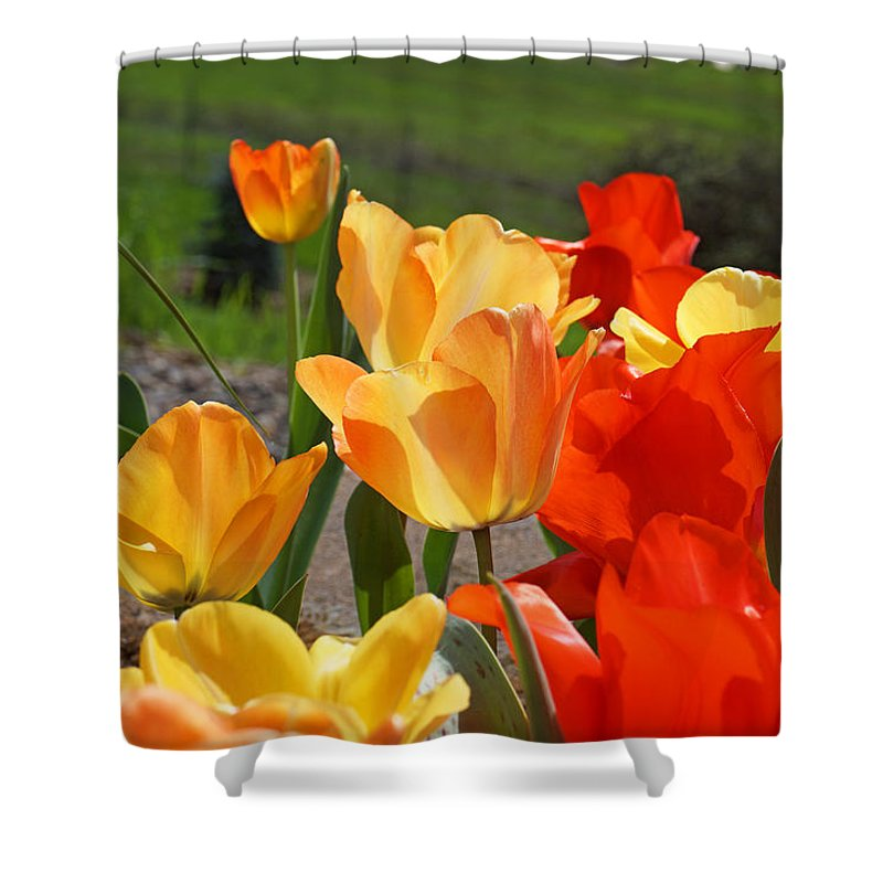 Red Shower Curtain featuring the photograph Glowing Sunlit Tulips Art Prints Red Yellow Orange by Baslee Troutman