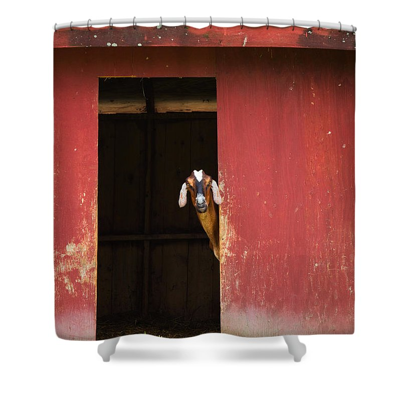 Goat Shower Curtain featuring the photograph Goat In Barn by Stephanie McDowell