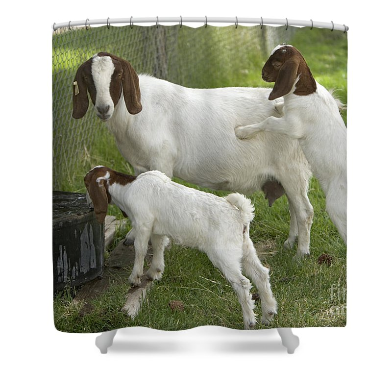 Boer Goat Shower Curtain Featuring The Photograph With Kids By Inga Spence