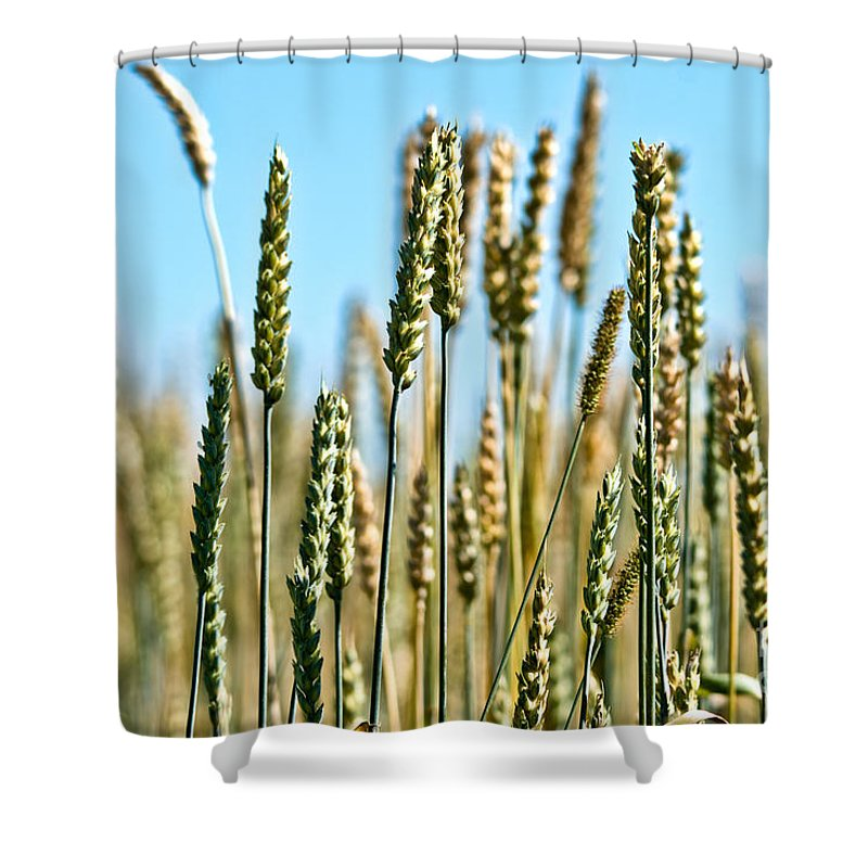 Wheat Shower Curtain featuring the photograph Gold Harvest Blue Sky by Cheryl Baxter