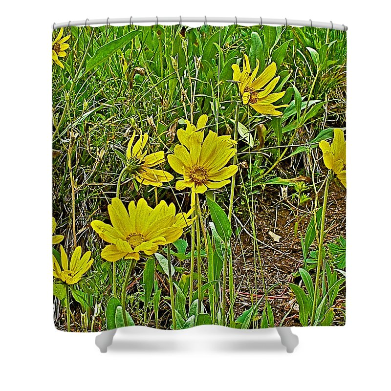 Golden Asters Near King\'s Hill Summit On Highway 89-montana Shower ...