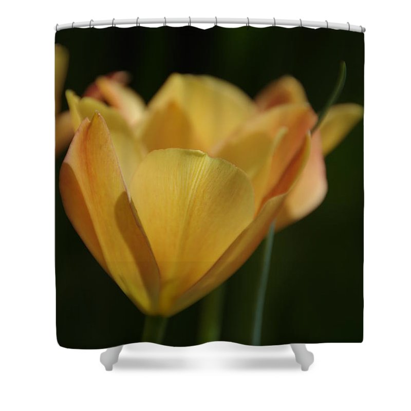 Tulips Shower Curtain featuring the photograph Golden Embrace by Marilyn Wilson