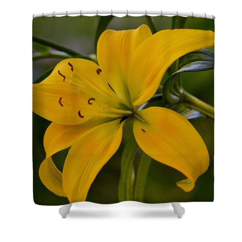 Golden Lily Sway Shower Curtain featuring the photograph Golden Lily Sway 2013 by Maria Urso