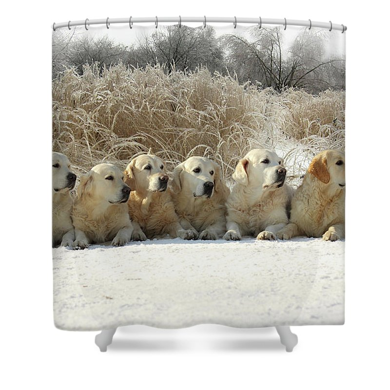 Pets Shower Curtain featuring the photograph Golden Retrievers by Sergey Ryumin