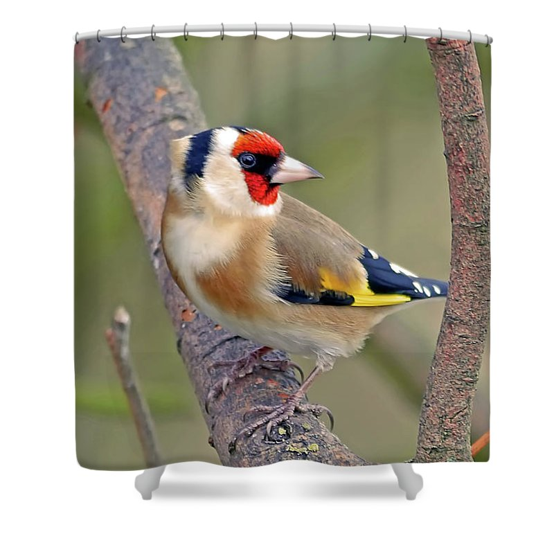 Animal Themes Shower Curtain featuring the photograph Goldfinch by Kevspix