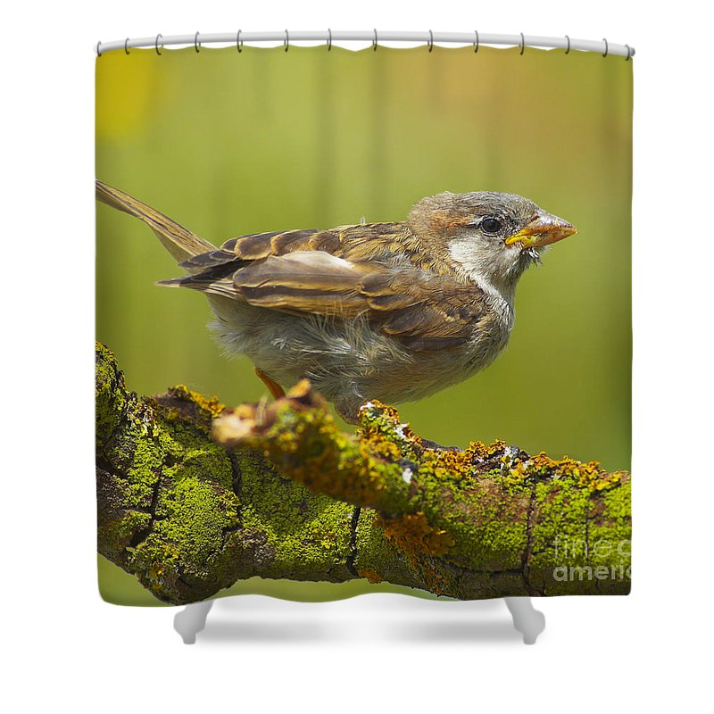 Birds Shower Curtain featuring the photograph Gorrion House Sparrow by Guido Montanes Castillo