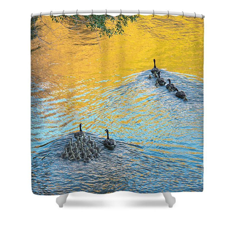 Geese Shower Curtain featuring the photograph Goslings Morning Swim by Robert Bales
