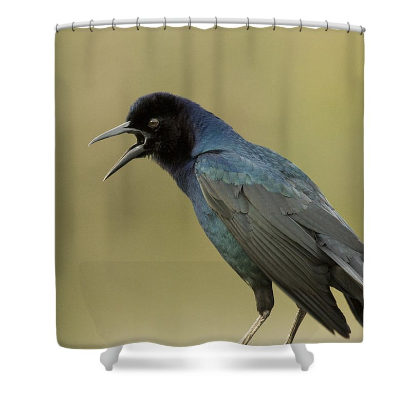 Boat-tailed Grackle Shower Curtain featuring the photograph Grackle 2 by Sandy Swanson
