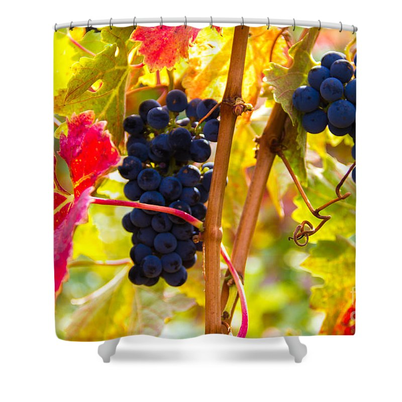Grapes Shower Curtain featuring the photograph Grapes And Autumn Leaves, Napa California by Tirza Roring