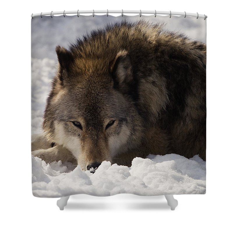 Wolf Shower Curtain featuring the photograph Gray Wolf In Snow by Stephanie McDowell