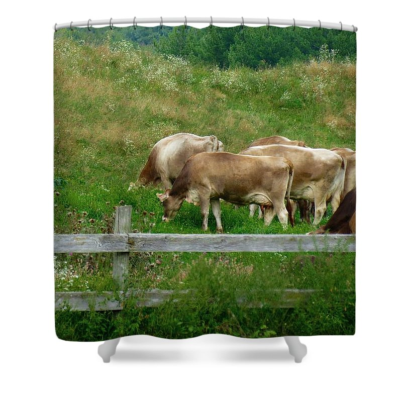 Cows Shower Curtain featuring the photograph Grazing Cows by MTBobbins Photography