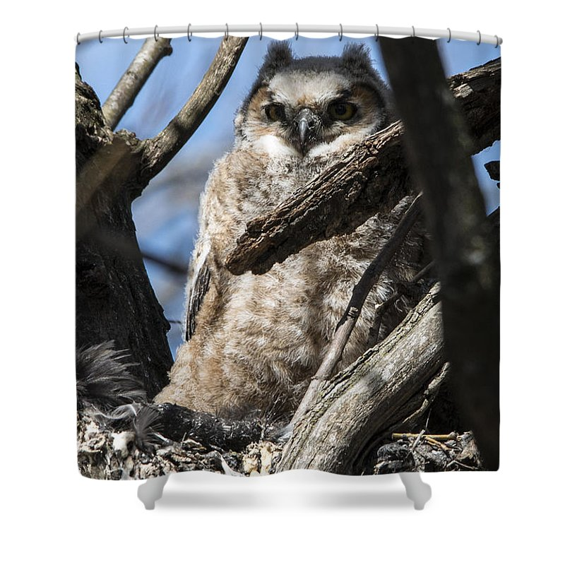 Great Horned Owl Shower Curtain featuring the photograph Great Horned Owlet Finishes Lunch by Jayne Gohr